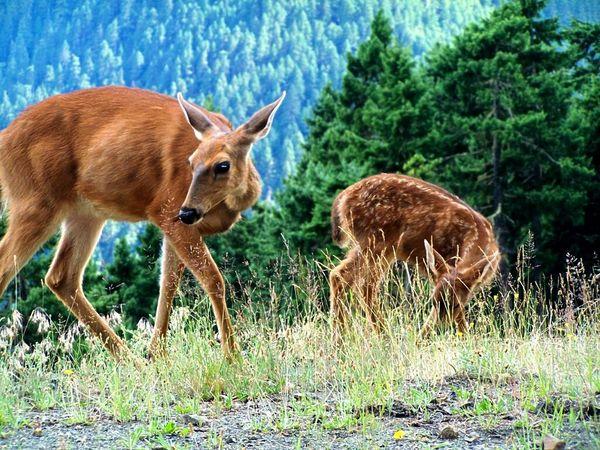 Wildlife in Olympic NP. Deer Wildlife Deers