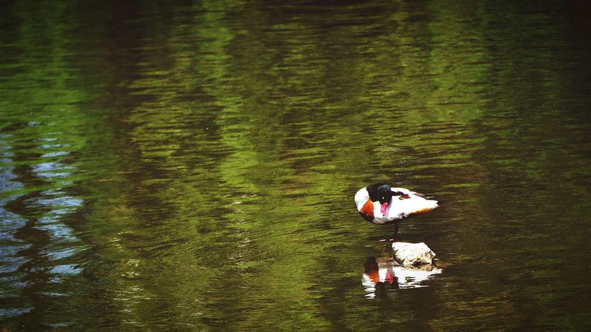Duck on a Lake @ Pairi Daiza. Green painting alike . Nikon D5000 200mm F/5.6 1/1250s ISO Lo 0.7 +1.0IL Nikon 16/9 Nature EyeEm Best Shots - Nature The Great Outdoors - 2015 EyeEm Awards Water Reflections