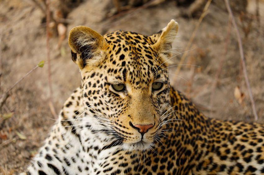 Leopard @ Chitwa Chitwa, Sabi Sands, South Africa Sabi Sands South Africa Big5 Leopard Big Cat Animal Themes Animal Wildlife Animal Animals In The Wild Feline One Animal Leopard Cat Mammal Vertebrate No People Close-up Carnivora Nature