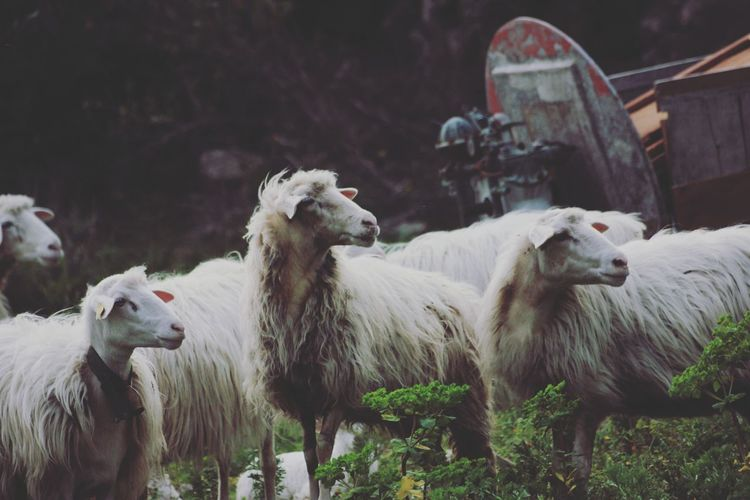 A small group of sheeps