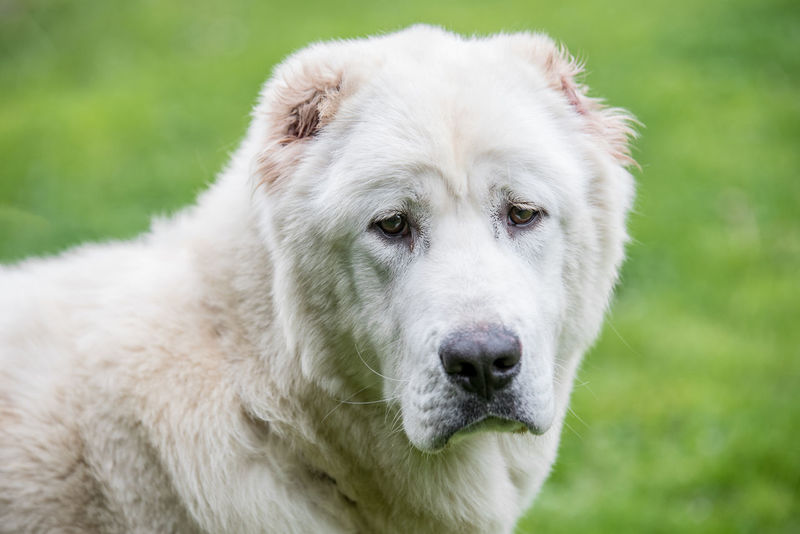 Central Asian Shepherd Dog. Alabai - An Ancient Breed From The Regions Of Central Asia Alabai Animal Themes Close-up Day Dog Domestic Animals Focus On Foreground Grass Green Color Looking At Camera Mammal Nature No People One Animal Outdoors Pets Portrait Shepherd