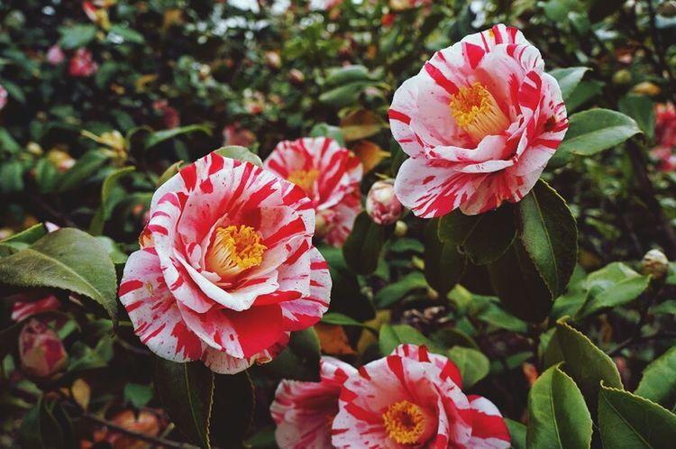 椿 Colorfull Flower Beautiful Streamzoo Family Pink Flower