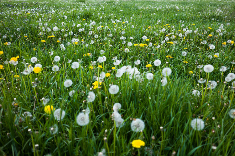 Plant Flower Flowering Plant Grass Field Freshness Land Growth Beauty In Nature Meadow Green Color No People Fragility Nature Plain Vulnerability  Springtime White Color Close-up Selective Focus Flower Head Outdoors Flowerbed