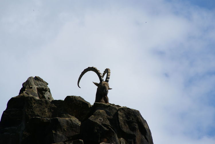 Low angle view of ibex on rock against cloudy sky