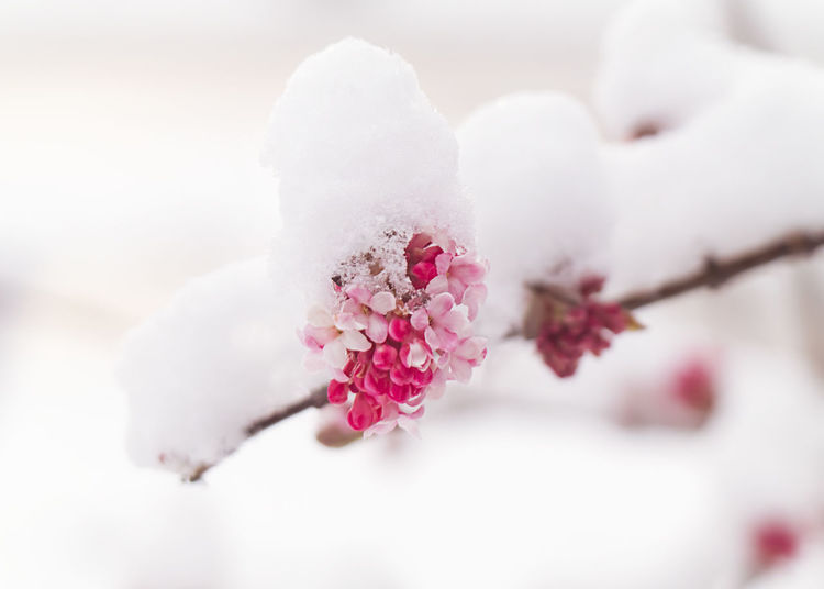 Close-up of cherry blossom during winter