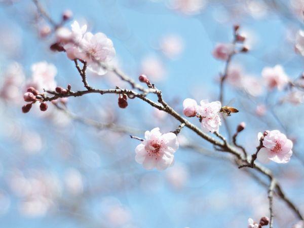 Cherry Blossoms Blossom Sakura Traveling Nature Nature_collection EyeEm Best Shots EyeEmBestPics Macro_collection Macro