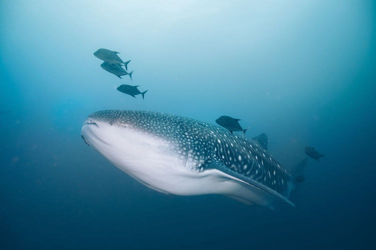 Underwater Sea UnderSea Animal Water Animal Themes Swimming Animals In The Wild Animal Wildlife Whale Shark Marine Sea Life Shark Fish Vertebrate Blue One Animal Nature No People