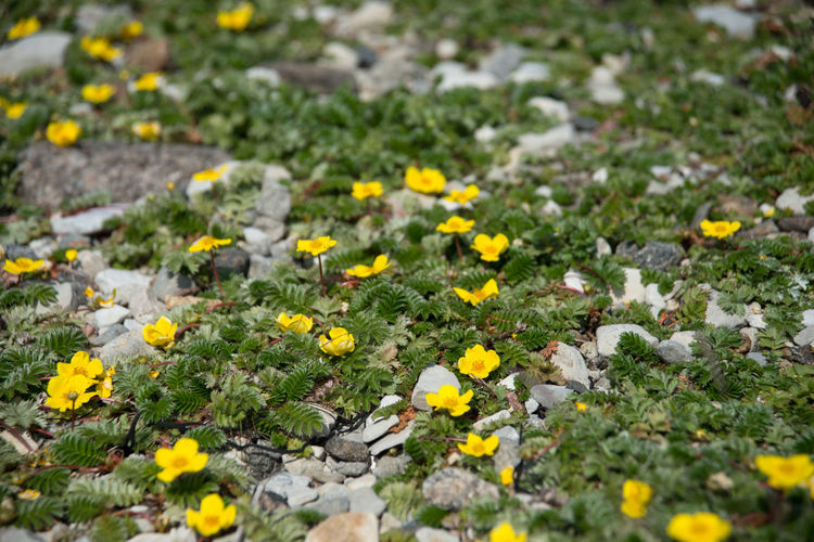 Abundance Of Flowers Argentina Anserina Blooming Botany Close-up Day Flower Flower Head In Bloom Nature No People Outdoors Petal Plant Potentilla Potentilla Anserina Rock Rosaceae Selective Focus Silverweed Silverweed Cinquefoil Stone Summer Yellow