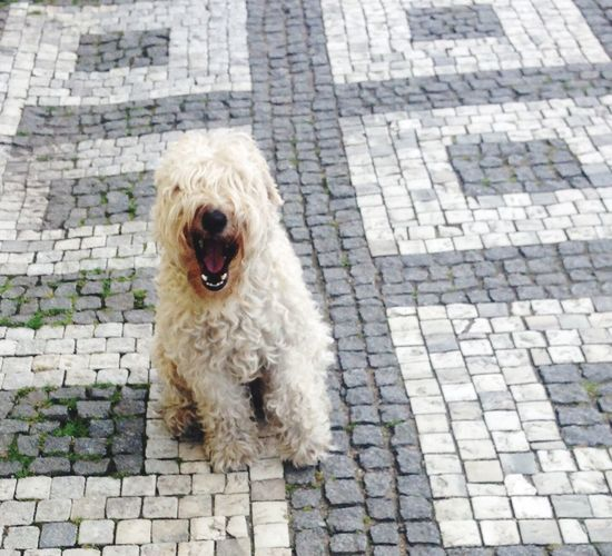 Dog Pets Animal Themes Smiling Dog Looking At Camera Sidewalk