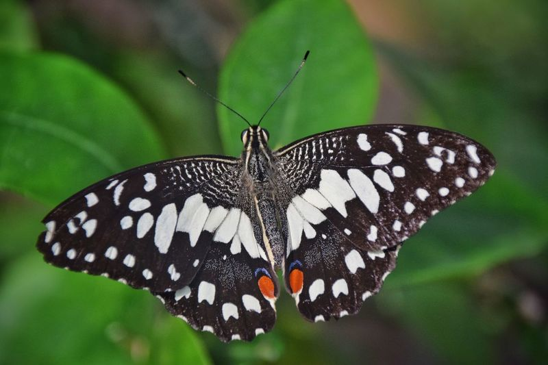 Insect Animals In The Wild Butterfly - Insect Animal Themes One Animal Animal Markings Natural Pattern Butterfly Animal Wildlife Focus On Foreground Close-up Nature Leaf Plant Outdoors Day Spotted Beauty In Nature No People Fragility Papilio Demoleus Chequered Swallowtail