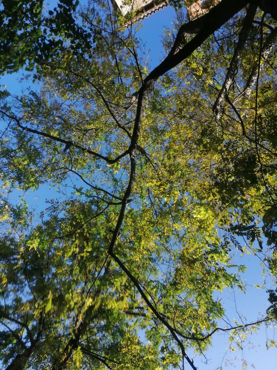 tree, plant, low angle view, beauty in nature, branch, sky, growth, nature, no people, day, tranquility, outdoors, clear sky, plant part, leaf, tree canopy, sunlight, backgrounds, forest, green color, springtime, directly below, spring, leaves