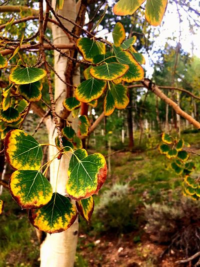 Aspen Trees Beautiful Trees Beauty In Nature Colorado Colorado Nature Trees In The Park September Aspen Leaf Aspen Groves Aspentrees Green Color Yellow Color Leaves Nature Leaf Tree Branch Outdoors Close-up Plant Growth No People Day Beauty In Nature