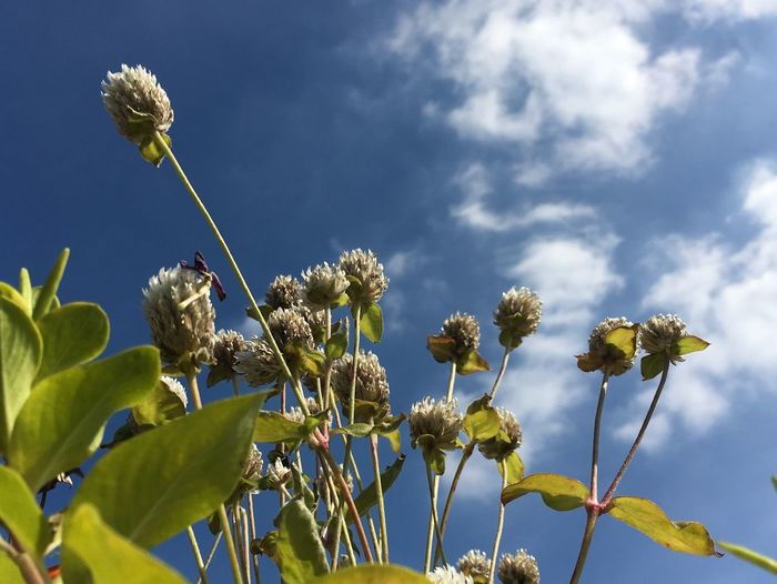 Low Angle View Of Flowers Growing On Plant Against Cloudy Sky