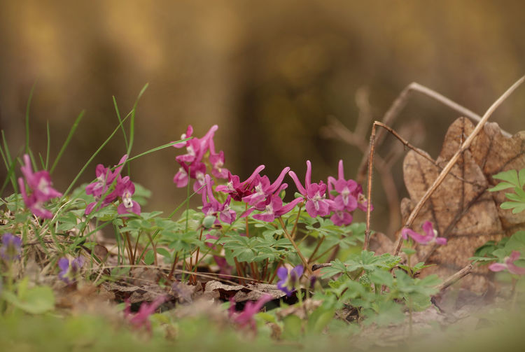 Corydalis Plant Growth Selective Focus Flowering Plant Flower Nature Beauty In Nature Pink Color Close-up Freshness Fragility Vulnerability  Plant Part Day Leaf No People Outdoors Petal Land Field Springtime Springtime Blossoms Springtime Flowers Environment Ecology