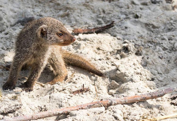 Young Mongoose On Sand