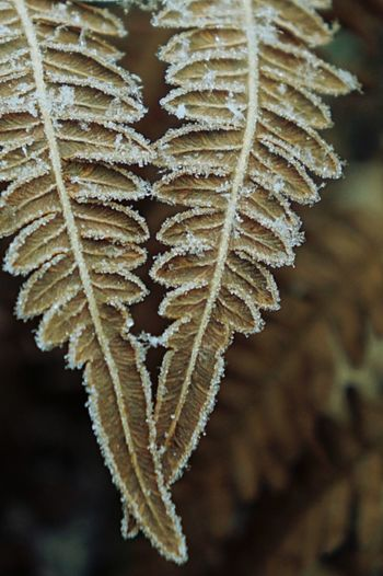Close-Up Of Dried Leaves On Frozen Plant