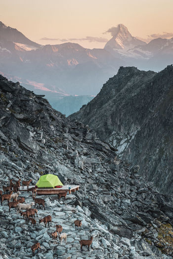 Scenic view of goats around tent against mountains and sky