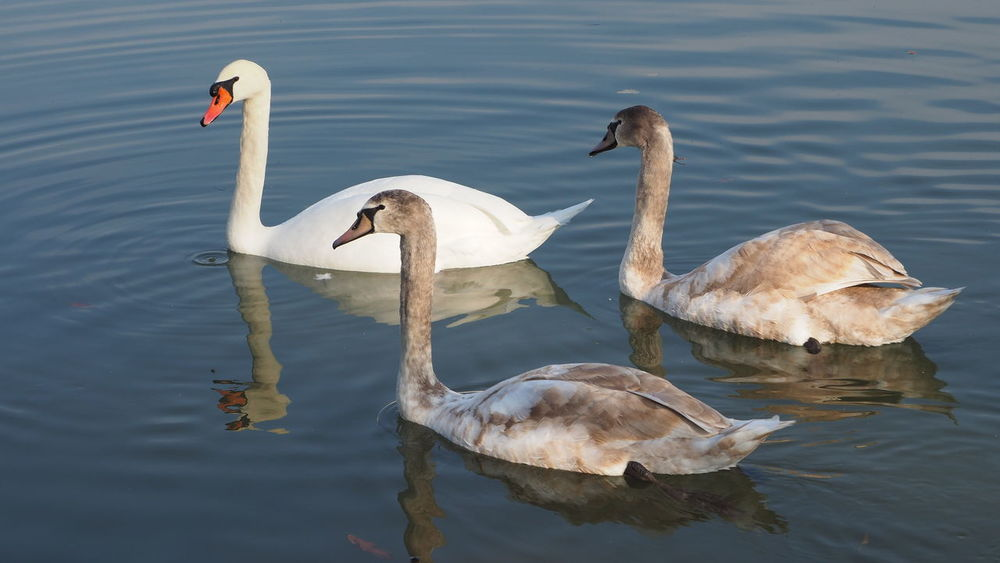 swan Slovakia Bird Water Swan Lake Young Bird Water Bird