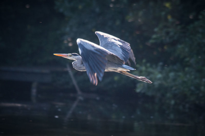 Close-up of great blue heron flying over lake
