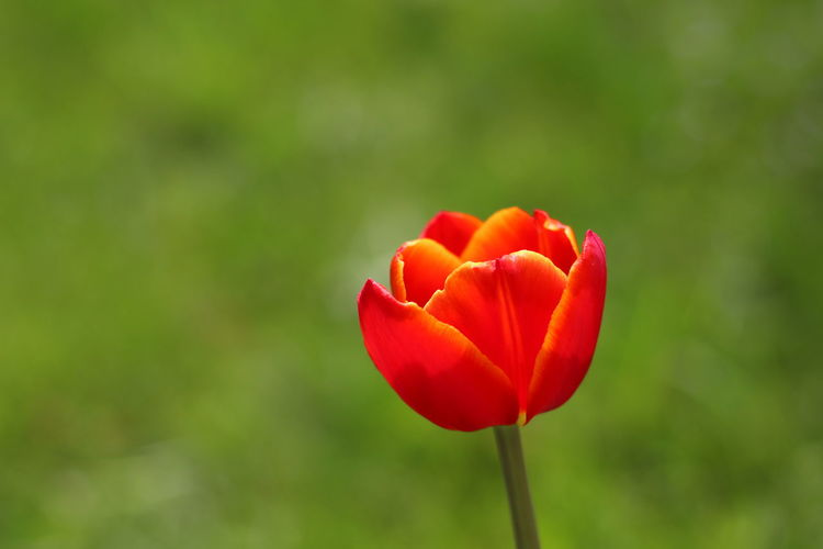 Close-up of red tulip blooming outdoors