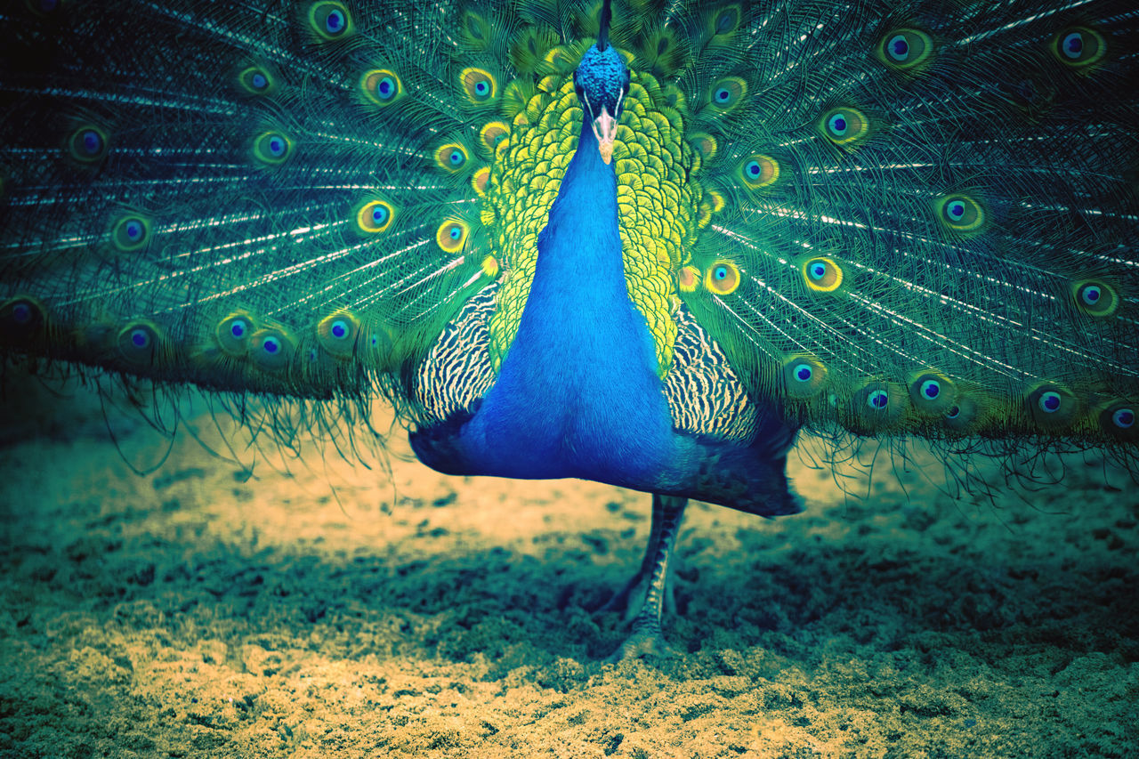 CLOSE-UP OF A PEACOCK ON THE GROUND