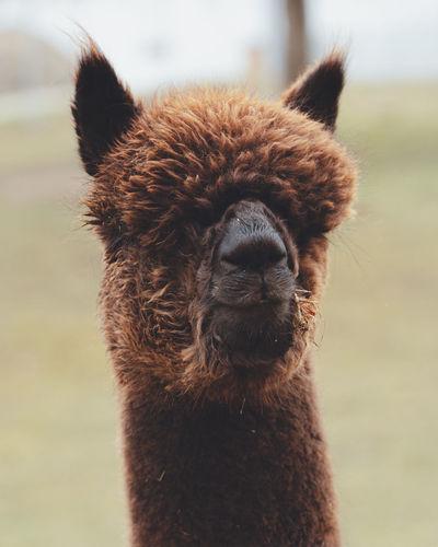 Close-up of a alpaca