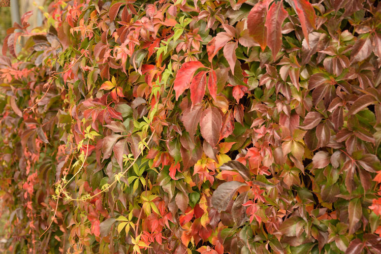 Colorful ivy, Parthenocissus Planch Ivy Leaves Ivy Wall Parthenocissus Abundance Backgrounds Beauty In Nature Change Close-up Colorful Flower Fragility Freshness Full Frame Growth Ivy Ivy Collection Ivy Covered Ivy Photography Leaf Nature No People Outdoors Petal Plant Vulnerability