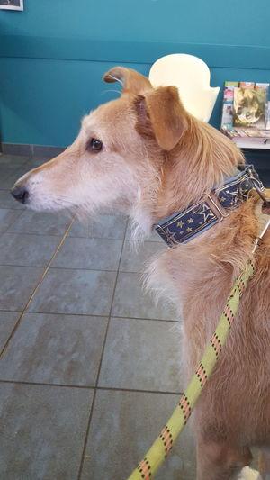 Capture The Moment Galga Spanish Dog EyeEm Selects Dog Pets Animal Domestic Animals Mammal Indoors  No People Animal Themes Day Close-up
