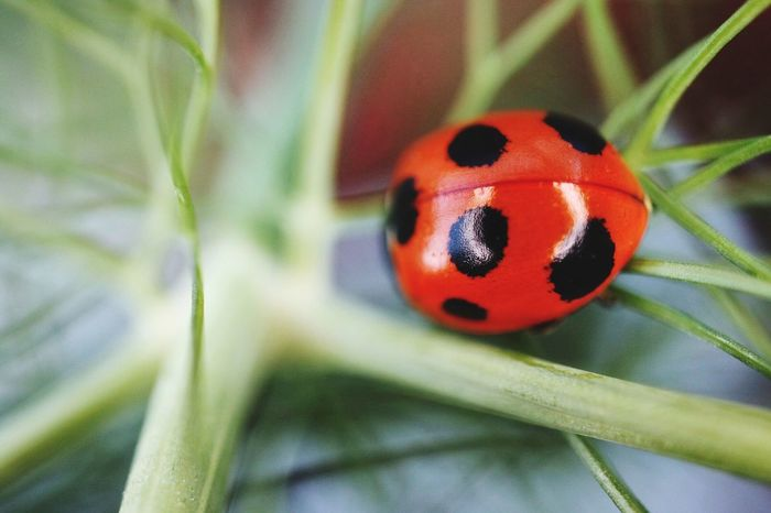 Ladybug Close-up Red Fennel Eosm3 Efm28mm_macro SuperMacro
