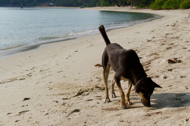 Dog at the beach Animal Themes One Animal Animal Mammal Vertebrate Domestic Animals Dog Land Pets Domestic Beach Sand Water Sea Animal Mouth Day No People Nature Koh Samui,Thailand Dogs At The Beach