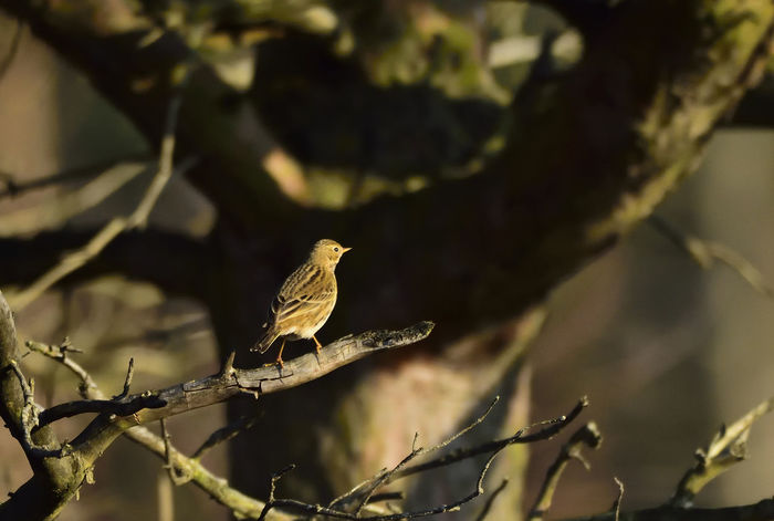 Animal Animal Themes Animal Wildlife Animals In The Wild Bird Bird Photography Birds Of EyeEm  Birds_collection Day Full Length Linaria Cannabina Linnet Nature Nature Nature Photography Nature_collection No People One Animal Outdoors Perching Wildlife & Nature Wildlife Photography