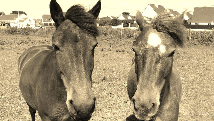 2horses Two Horses Aged Effect Two HeadsManes In Front Of HorsesGroup Of Animals Head Of Horses Herbivorous Horses Photography
