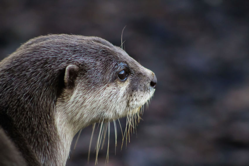 Animal Themes Animal Wildlife Animals In The Wild Close-up Day Focus On Foreground Mammal Nature No People One Animal Outdoors Short Clawed Otters Side View Whisker