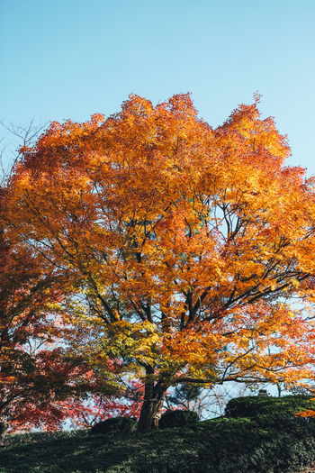 Colorful Tree Autumn Tree Change Plant Orange Color Sky Beauty In Nature Nature Growth Low Angle View Clear Sky Day Tranquility No People Outdoors Branch Tranquil Scene Non-urban Scene Scenics - Nature Land Autumn Collection Fall Natural Condition Colorful Colors