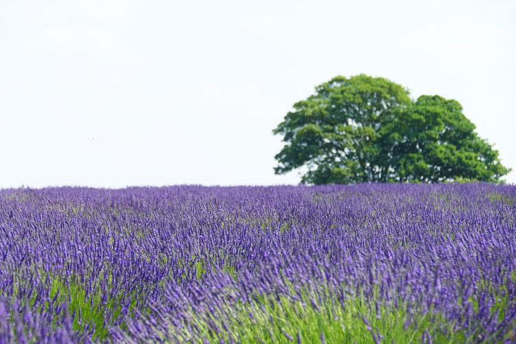 'Lavender II'