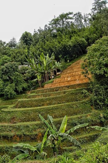 Vietnam Sapa Plant Growth Nature Tree No People Green Color Day Beauty In Nature Sky Field Tranquility Land Outdoors Grass Agriculture Leaf Plant Part Low Angle View Lush Foliage Environment