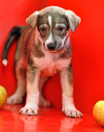 Portrait of puppy sitting on red ball