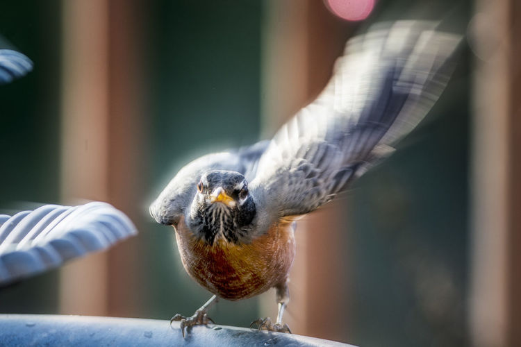 Robin flapping
