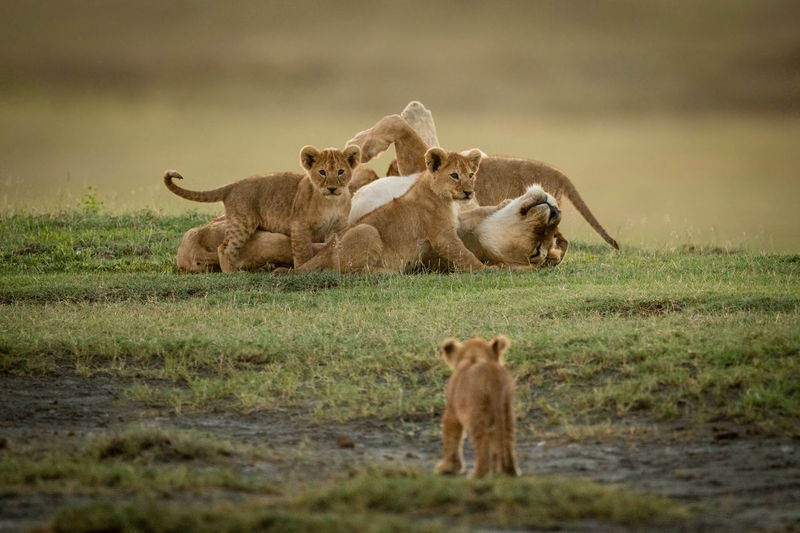 Lioness with cubs on grass