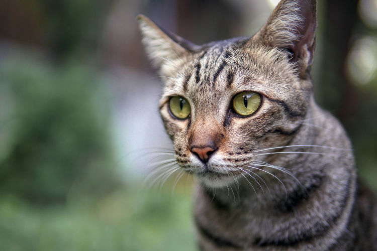 Eyes of the Tiger One Animal Animal Themes Animal Mammal Cat Feline Domestic Pets Domestic Animals Portrait Domestic Cat Close-up Whisker Focus On Foreground Looking At Camera Animal Body Part No People Vertebrate Animal Head  Day Tabby Animal Eye Yellow Eyes Mouth Open Eyes
