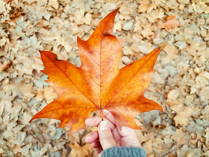 Low section of person holding maple leaves