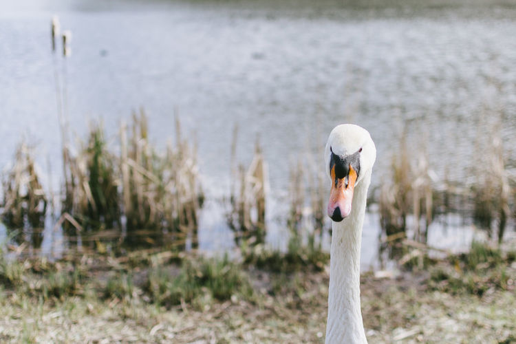 Animal Themes Animals In The Wild Beauty In Nature Bird Close-up Day Focus On Foreground Lake Nature No People One Animal Outdoors Portrait Swan Water