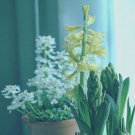Hyacinth Hyacinths Hyacinth Flower HyacinthFlowers Spring Flowers Spring Springtime Early Spring Flowers Flower Flower Collection Flowerpot Flower Photography Flowers_collection Flowerlovers EyeEm Flower EyeEm Gallery Eyeemflowerlover Beautiful Flowers Flowerpower Yellowflower Flowerporn Flowerphotography Floweroftheday Flowers 🌸🌸🌸