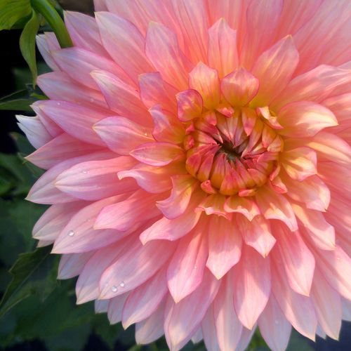 Dahlia Flower Flower Head Blooming Full Bloom Bright Joyful Beauty In Nature Freshness Pink Color Summertime Imbrication Full Frame EyeEmNewHere