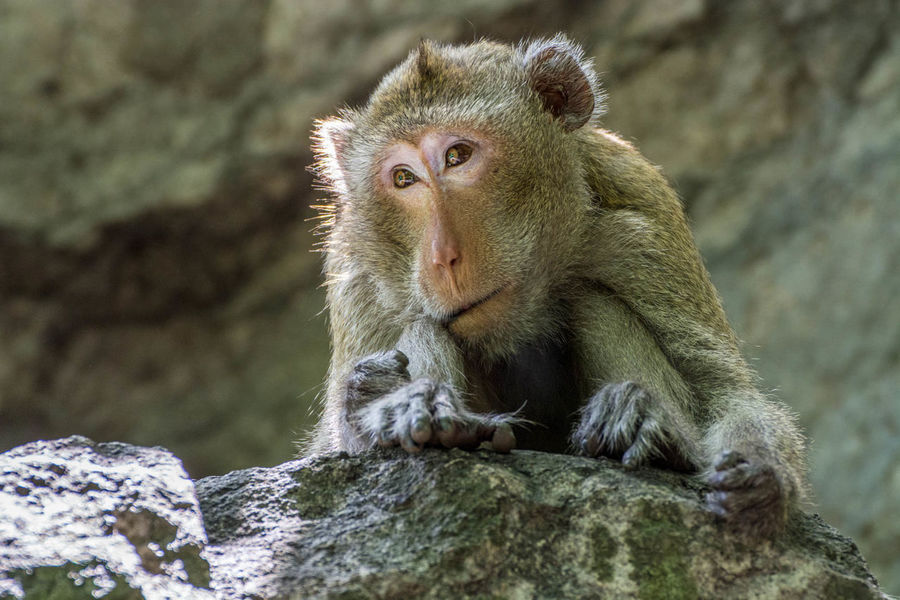 Animal Themes Animal Wildlife Animals In The Wild Baboon Close-up Day Depressed Japanese Macaque Lonely Mammal Monkey Nature No People One Animal Outdoors Primate Rock - Object Sitting