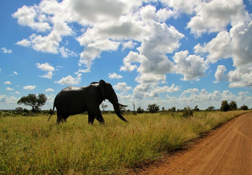 Cloud - Sky Agriculture Sky Field Rural Scene Landscape American Bison Nature Animal Themes One Animal Outdoors Mammal No People Domestic Animals Day Tree Beauty In Nature Safari Animals Nature Beauty In Nature Portrait Tree Krugernationalpark Animals In The Wild KrugerEnthusiasts