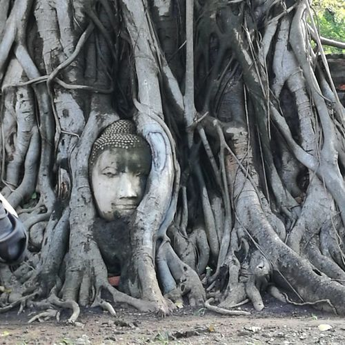 Religion Spirituality Nature Outdoors Day Travel Destinations Ying Yang Yingyang Naturelovers Buddha Place Of Worship Roots Of Tree Roots Of Life Thailand Sacred Temple Spirituality History Ayutthaya | Thailand Tree Trees Sculpture Power In Nature Beauty In Nature Ancient Civilization