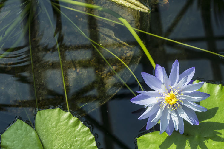 Close-up of aquatic flower