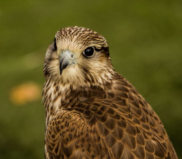 Close-up portrait of falcon