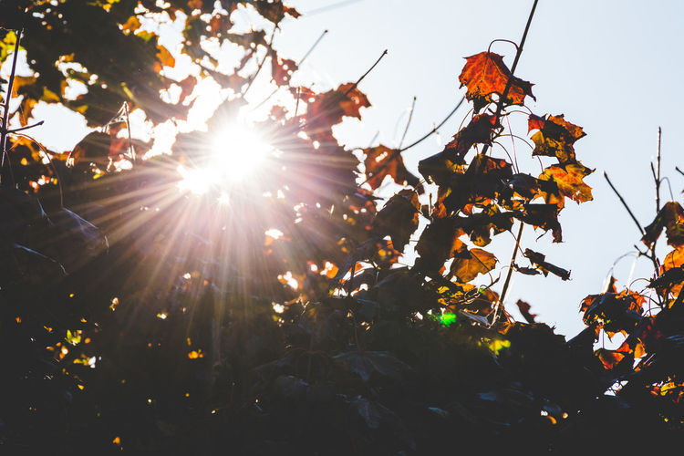 Sunlight shining through branches of fall leaves. Perspectives On Nature Beauty In Nature Branch Clear Sky Close-up Day Freshness Fruit Growth Leaf Lens Flare Low Angle View Nature No People Outdoors Sky Sunlight Tree
